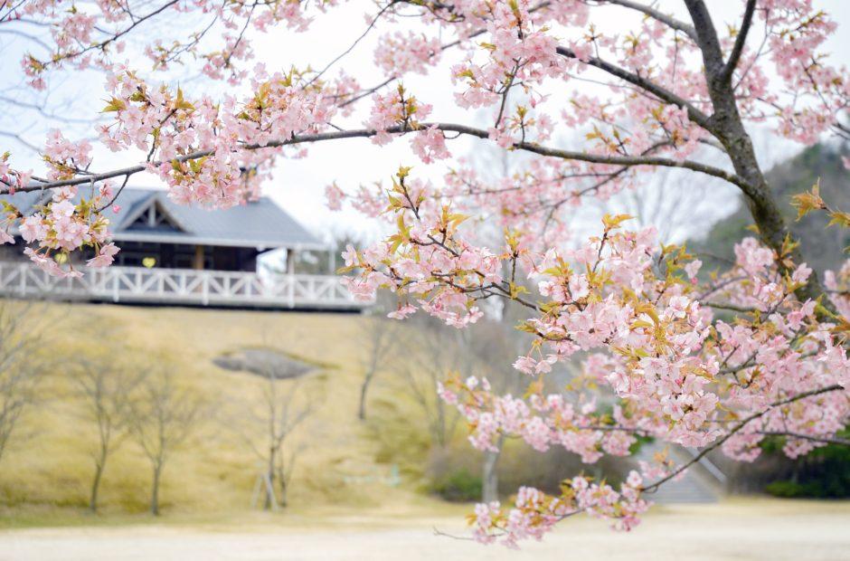 広島市森林公園 桜の時期